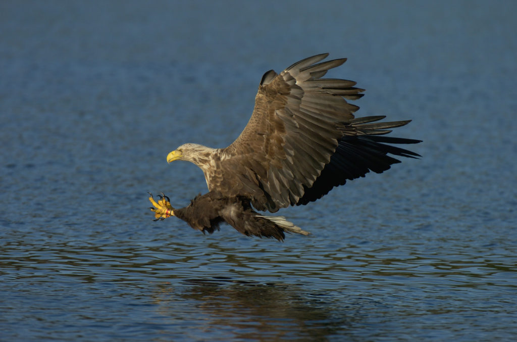 White-tailed sea eagles