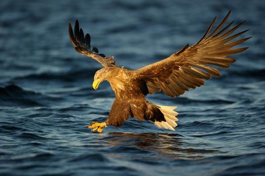 White Tailed Sea Eagles
